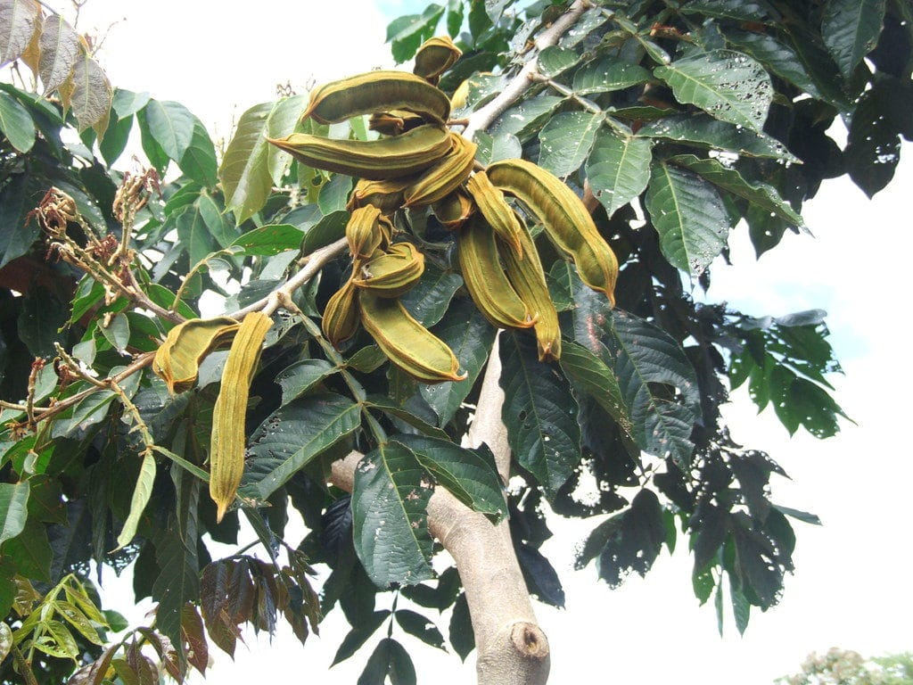 дерево Inga feuillei