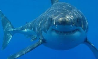 Если вы еще не готовили стейк из акулы, тогда попробуйте нашу идею маринада и делитесь впечатлениями в комментариях.