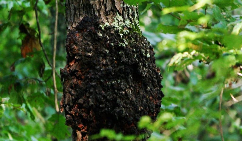 Симбиоз фисташкового дерева и тли